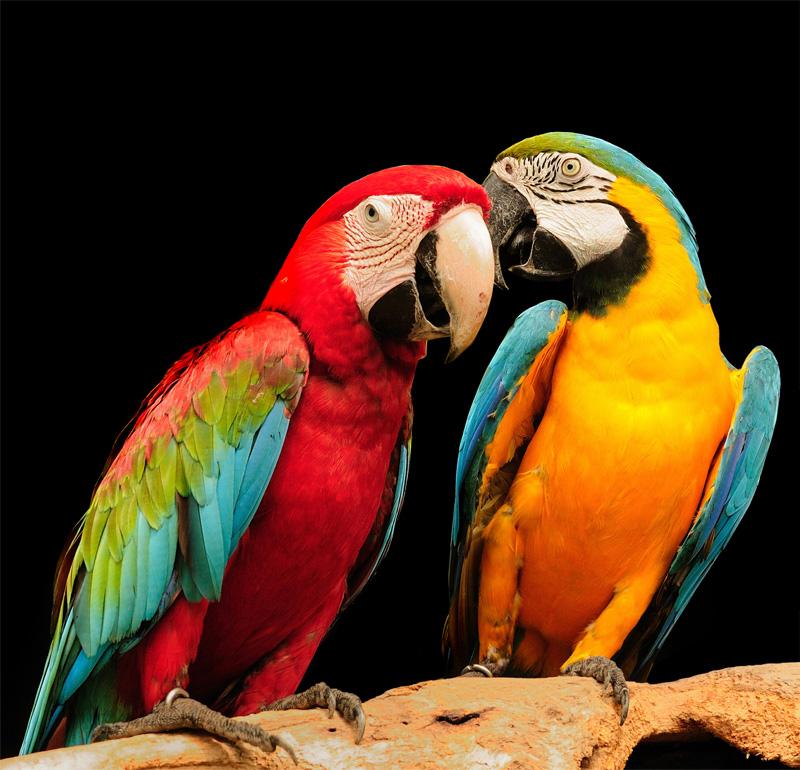 Australia And Cockatoos Have Food